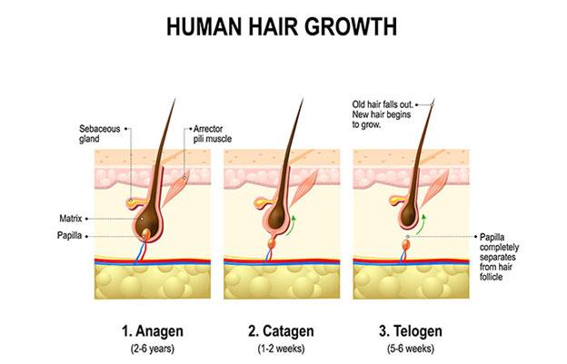 how human hair growth
